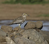 Eurasian Thick-knee