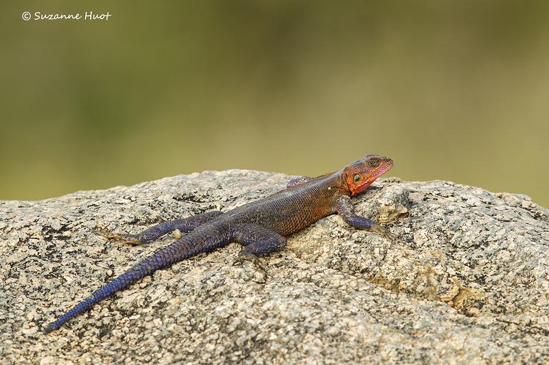 Agama lizard   male