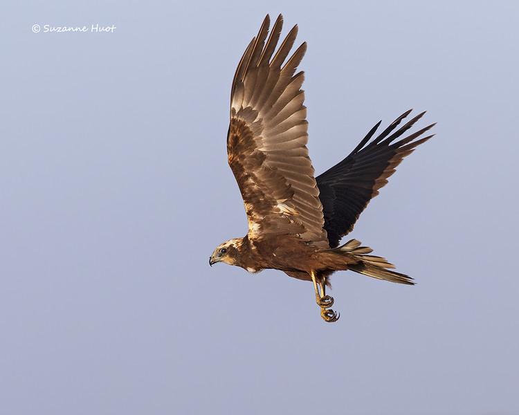 Montagu's Harrier  female