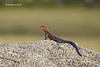 Agama Lizard   male