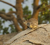 Rock Hyrax with young