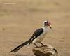 Van der Decken's Hornbill