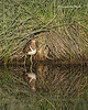 Painted Snipe  female