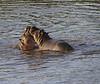 Young Hippos at play