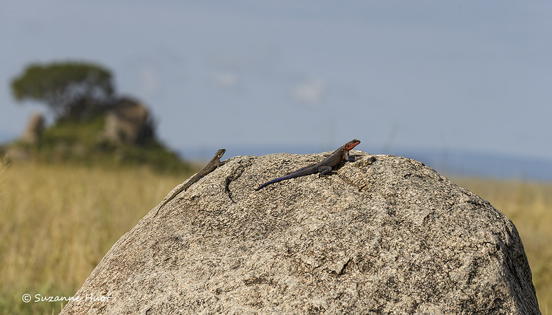 Agama Lizards