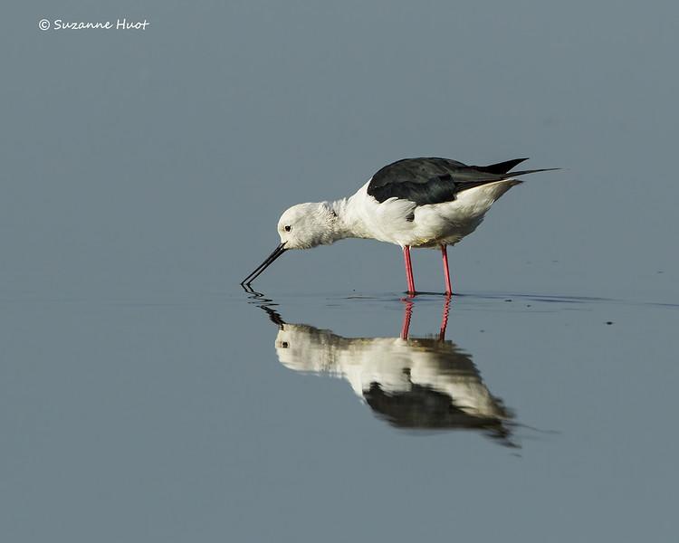 Adult Black-winged stilt