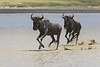 Wildebeeste traversing the lake at hidden Valley