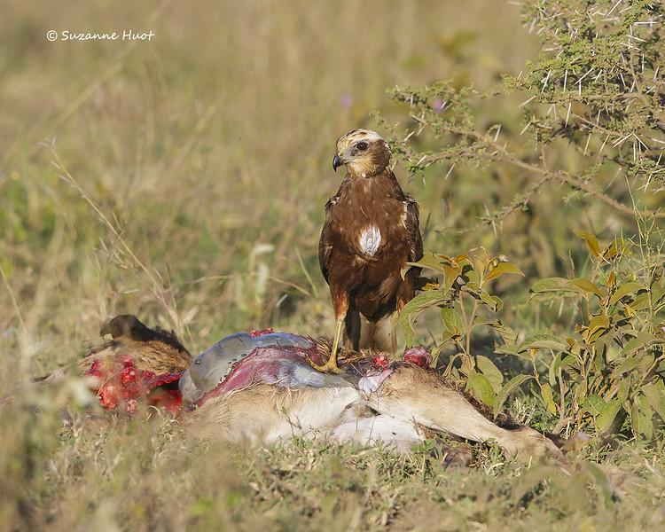 Montagu's Harrier on young wildebeest carcass