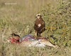 Montagu's Harrier on young wildebeest carcass
