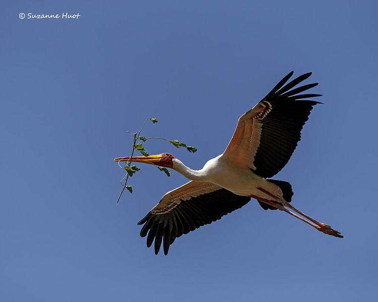 Yellow-billed Stork with nesting material