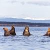 Steller' Sea Lions