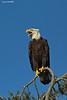 Bald Eagle calling.