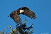Bald Eagle .