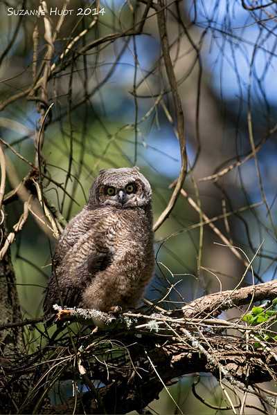 The third triplet left the nest when he was three weeks old ,probably by accident . After spending the first three days on top of a small snag he managed to make it to a higher and safer perch. .The Owl parents have been feeding him each day and he appears to be thriving on his independent mode of life .