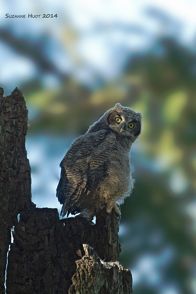 Lord of all he surveys. One of the three Owlet triplets. .