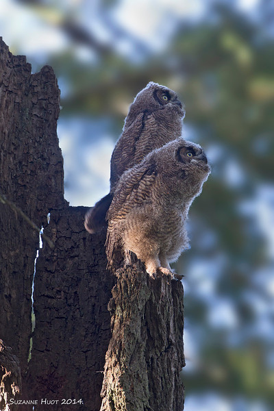 Owlets enjoying the view and always curious about what is going on below them .