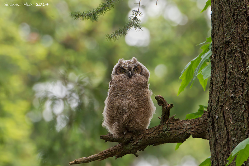 A new perch for the Owlet.