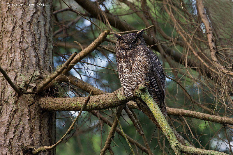 The Great -horned Owl parents are always sitting on branches very close to the nest site.You often hear the Mother Owl communicating softly with her Owlets.