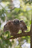 Won't be long before this little Owlet will be taking his first flight.