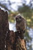 Great-horned Owlet.