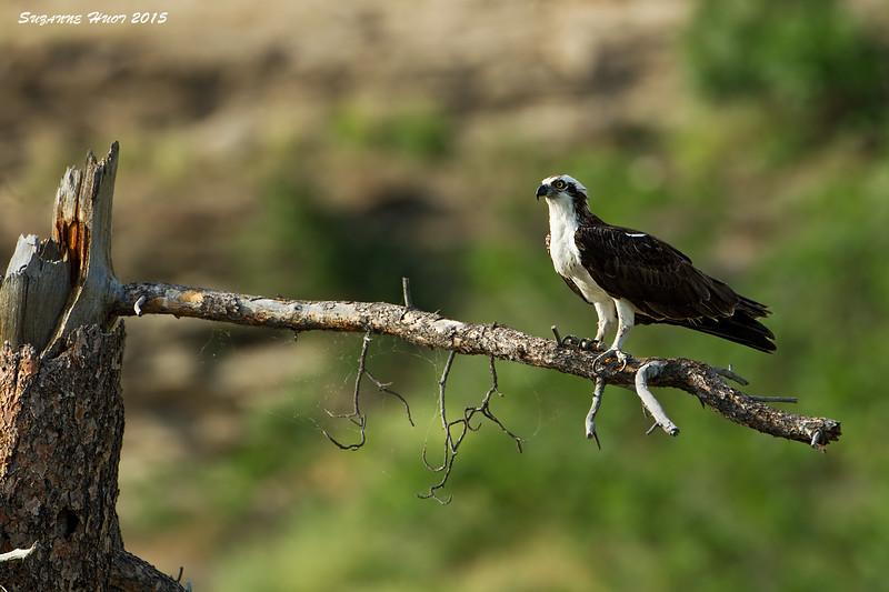 Osprey.  Male