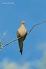 Eurasian - collared Dove.