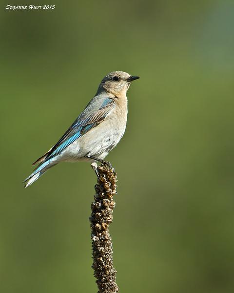Female Mountain Bluebird.