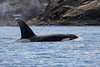 Transient  male Orca  ,