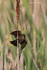 Red-winged Blackbird female with insect.