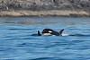 JPod Orca calf