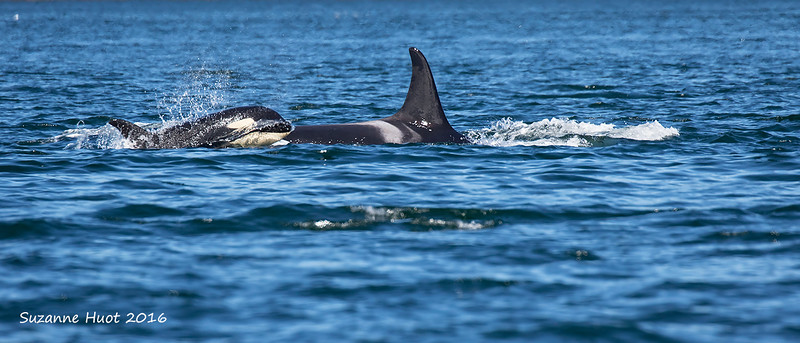 Resident Orca from Jpod with Calf