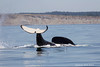 Resident Orca at play