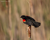 Red-winged Blackbird displaying . Male