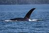 Mature Bull Orca, Transient.