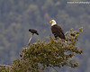 Bald Eagle  with Crow for company.