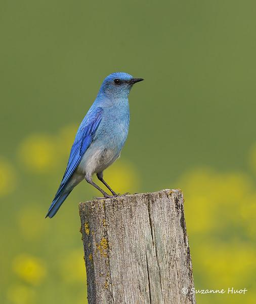 Mountain bluebird  m