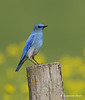 Mountain bluebird  m