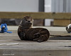Sunbathing River Otter on the dock