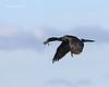 Pelagic cormorant with nesting material
