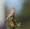 House Finch  f