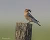 Mountain bluebird   f