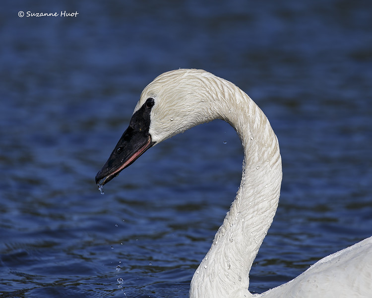 Portrait of a Trumpeter swan