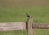 Bobolink   documentary  shot