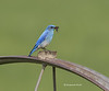 Mountain bluebird with bug