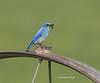 Mountain bluebird with bug