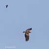 Juvenile eagle being harassed by Red-winged blackbirds