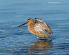 Bath time . Short-billed dowitcher