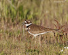 Killdeer giving alarm call to chicks close by