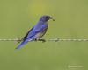 Western bluebird with catch