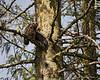 Great-horned Owl habitat